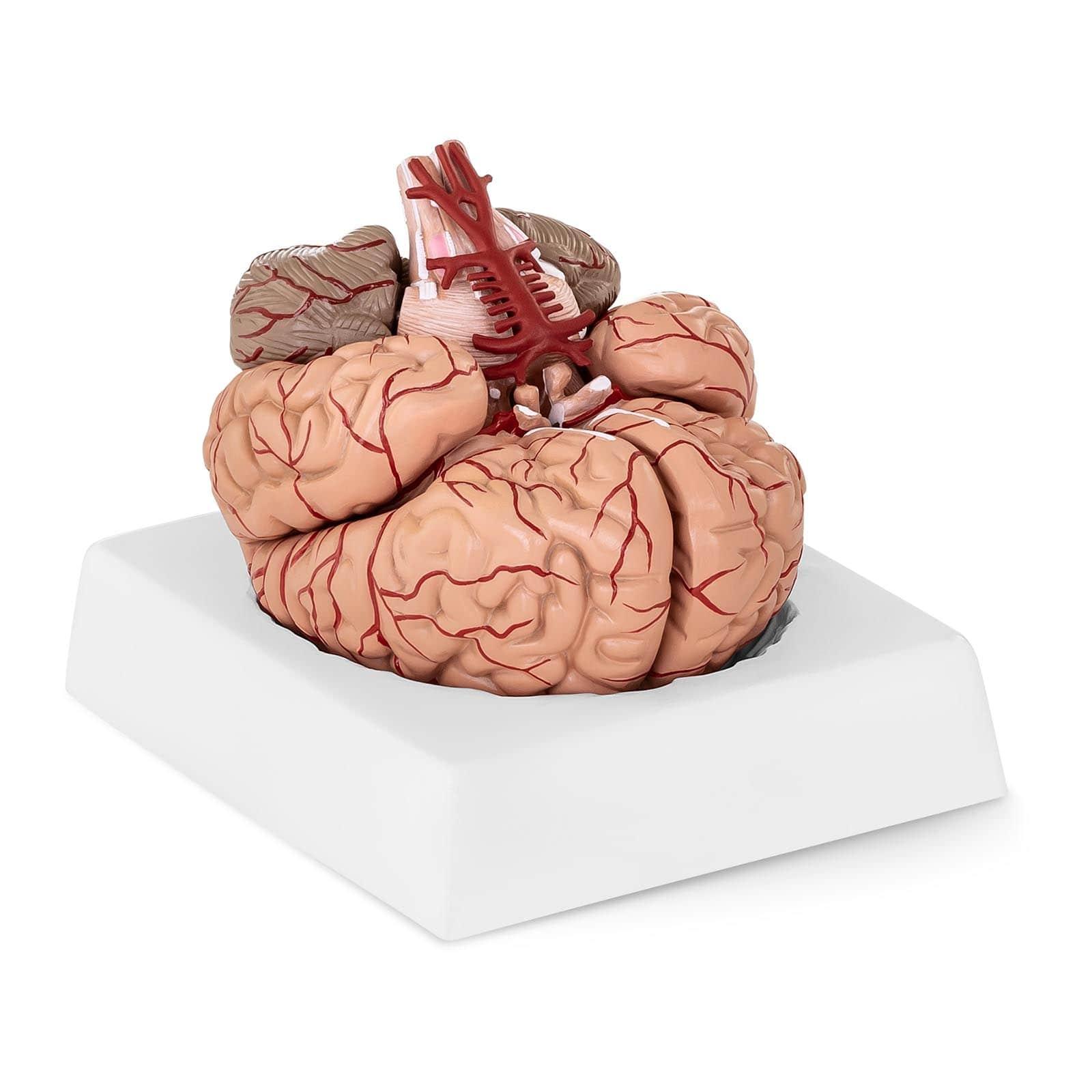 Anatomické modely